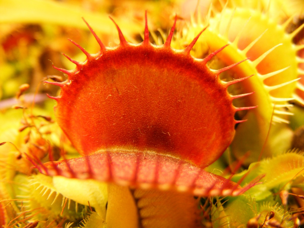 Seed Grown Venus Flytrap